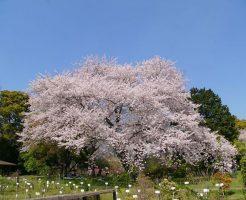 桜満開・染井吉野(ソメイヨシノ)